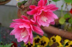 Эпифиллум. Уход и выращивание в домашних условиях. Описание, виды, фото кактуса