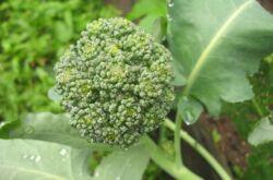 Выращивание брокколи: правила и агротехника