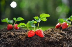 Как вырастить рассаду земляники из семян