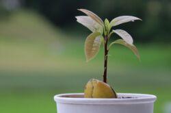 Авокадо. Уход и выращивание в домашних условиях. Как вырастить авокадо из косточки