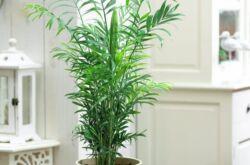 Хамедорея. Уход и выращивание в домашних условиях. Пересадка и размножение
