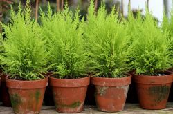 Кипарис. Уход и выращивание в домашних условиях. Посадка и размножение