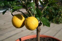 имон – уход и выращивание в домашних условиях. Посадка и размножение. Описание, сорта, фото