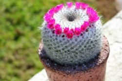 Маммилярия – уход в домашних условиях. Выращивание кактуса и размножение. Описание, виды, фото