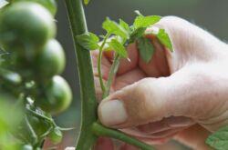 Пасынкование томатов: как и когда делать
