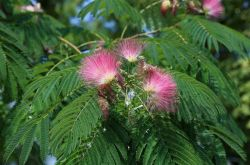 Альбиция или акация – уход, выращивание, размножение. Описание, виды, фото