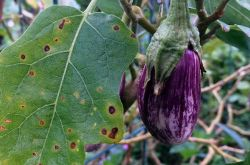 Самые распространенные проблемы с рассадой баклажанов и пути их решения