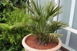 Хамеропс – уход в домашних условиях. Выращивание, пересадка и размножение пальмы хамеропс