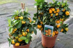 Каламондин или цитрофортунелла (домашний мандарин) – уход в домашних условиях. Выращивание, пересадка и размножение