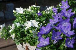 Кампанула – уход в домашних условиях. Выращивание, посадка и размножение кампанулы. Описание, виды, фото