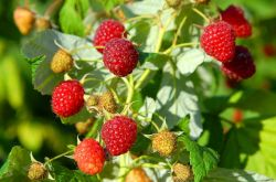 Выращивание малины: посадка, уход, подкормки