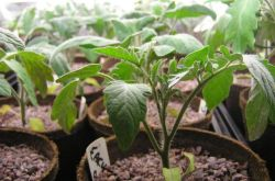Выращивание рассады томатов: посев, пикировка, поливы и подкормки, закалка