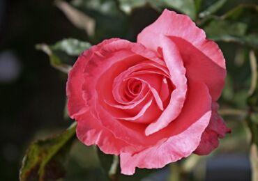 Роза Паризе Шарм - посадка, выращивание и уход. Обрезка, зимовка и размножение Паризе Шарм. Описание розы, фото