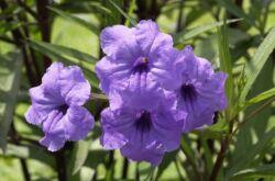 Руэллия – уход в домашних условиях. Выращивание, пересадка и размножение руэллии. Описание, виды, фото