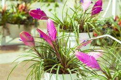 Тилландсия – уход в домашних условиях. Выращивание, пересадка и размножение тилландсии. Описание, виды, фото