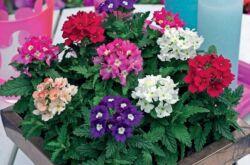 Цветок вербена – выращивание из семян. Уход и посадка вербены. Описание, виды, фото вербены