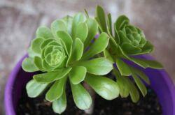 Эониум – уход в домашних условиях. Выращивание, пересадка и размножение эониума