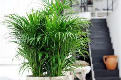 Хризалидокарпус – уход в домашних условиях. Выращивание хризалидокарпуса, пересадка и размножение. Описание, виды, фото