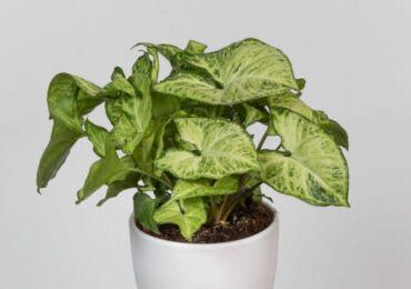 Растение сингониум