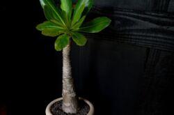 Бригамия – уход в домашних условиях. Выращивание бригамии, пересадка и размножение. Описание, виды, фото