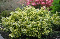 Растение бересклет