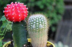 Гимнокалициум – уход в домашних условиях. Выращивание кактуса гимнокалициума, пересадка и размножение. Описание, фото