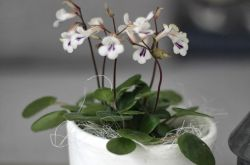 Хирита – уход в домашних условиях. Выращивание хириты, пересадка и размножение. Описание, фото