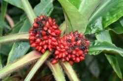 Палисота – уход в домашних условиях. Выращивание палисоты, пересадка и размножение. Описание, виды. Фото