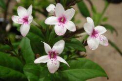 Псевдэрантемум – уход в домашних условиях. Выращивание псевдэрантемума, пересадка и размножение. Фото