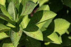 Синадениум – уход в домашних условиях. Выращивание синадениума, пересадка и размножение. Описание, виды. Фото