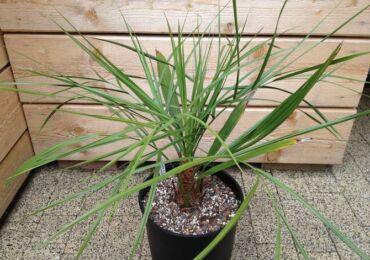 Пальма бутия – уход в домашних условиях. Выращивание бутии, пересадка и размножение. Описание, виды. Фото