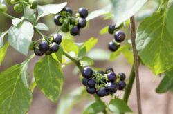 Санберри – выращивание ягоды из семян и уход за ней