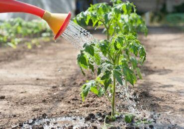 Как часто поливать рассаду помидоров после пикировки, высадки в грунт и в теплице