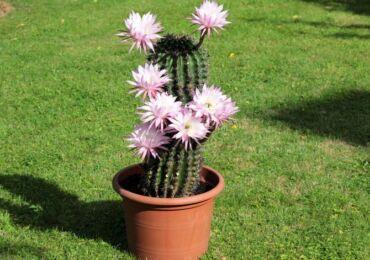Эхинопсис – уход в домашних условиях. Выращивание кактуса эхинопсиса, пересадка и размножение. Описание. Фото