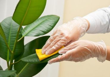 Очистка листьев растений от пыли и грязи. Как правильно протирать комнатные растения