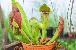 Саррацения – уход в домашних условиях. Выращивание cаррацении – растения хищника, пересадка и размножение. Описание. Фото