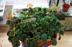 Смитианта – уход в домашних условиях. Выращивание цветка смитианты, пересадка и размножение. Описание, виды. Фото