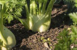 Выращивание фенхеля из семян и уход за посадками