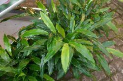 Кардамон – уход в домашних условиях. Выращивание кардамона, пересадка и размножение. Описание. Фото