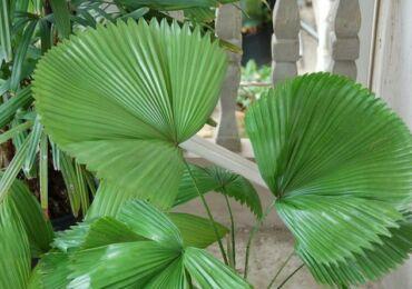 Ликуала – веерная пальма. Уход за ликуалой в домашних условиях. Выращивание пальмы, пересадка и размножение. Описание, виды. Фото