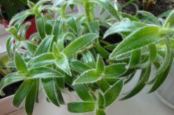 Цианотис – уход в домашних условиях. Выращивание цианотиса, пересадка и размножение. Описание, виды. Фото
