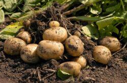 Выращивание картофеля по голландской технологии на дачном участке