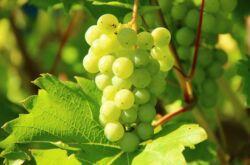 Виноград Кеша – посадка и выращивание. Уход за виноградом Кеша и красный Талисман. Описание сорта, характеристики. Фото