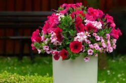 Однолетние садовые цветы, цветущие все лето в тени и на солнце. Виды, фото