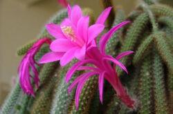 Апорокактус – уход в домашних условиях. Выращивание апорокактуса, пересадка и размножение. Описание, виды. Фото