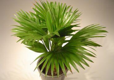 Пальма Ливистона – уход в домашних условиях. Выращивание ливистоны, пересадка и размножение. Описание. Фото