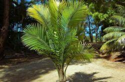 Пальма Равенея – уход в домашних условиях. Выращивание равенеи, пересадка и размножение. Описание. Фото