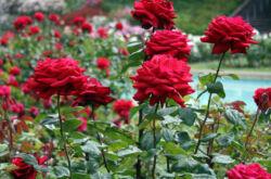 Как осуществляется осенняя и весенняя подкормка роз