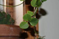 Неоальсомитра – уход в домашних условиях. Выращивание неоальсомитры, пересадка и размножение. Описание, виды. Фото