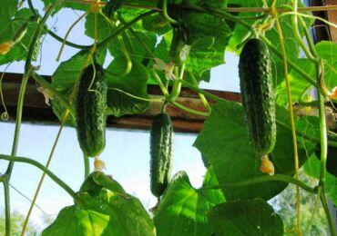 Как вырастить огурцы на балконе: посадка семян, сбор урожая, выращивание огурцов в зимнее время